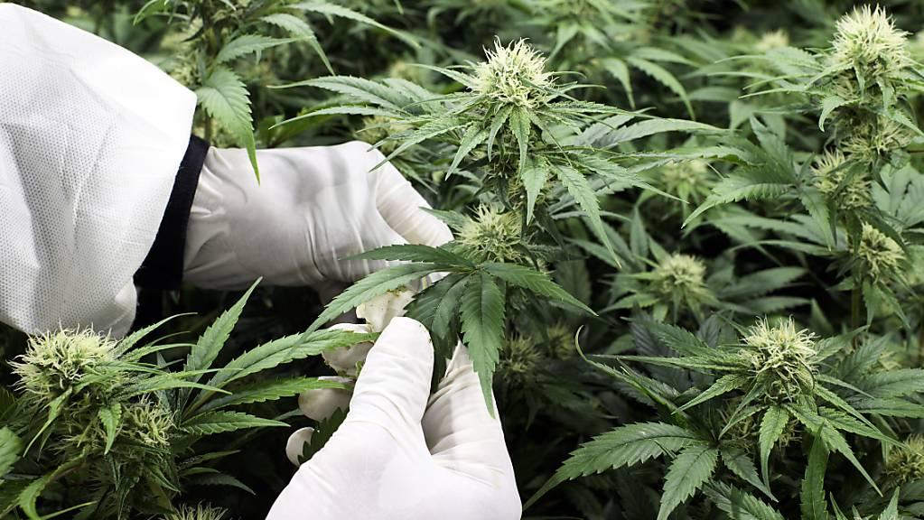 Die Lieferketten für die Pilotversuche zur Abgabe von nicht medizinischem Cannabis werden vom Anbau bis zum Vertrieb streng überwacht. (Archivbild)