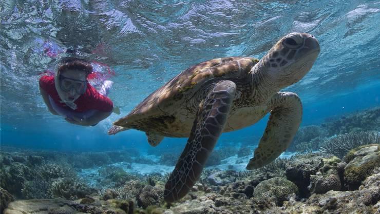 Rund um die Insel Lady Elliot lässt sich mit Schildkröten schnorcheln.