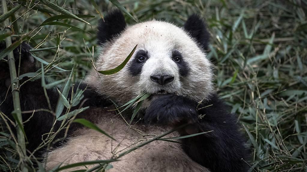 Der Verlust von Biodiversität führt auch zu finanziellen Risiken, sagt eine neue Studie des WWF. Im Bild: Ein Panda frisst Bambus.