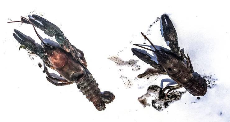 Dieses Foto der toten Bachkrebse fertigte danach die Kantonspolizei Zürich an.