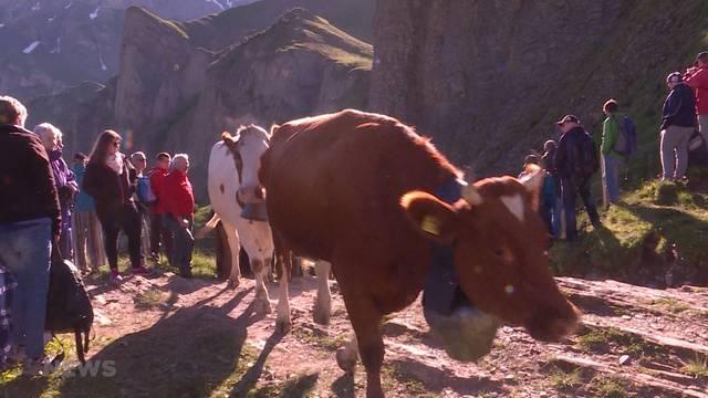 Alpaufzug wird zur Touristenattraktion