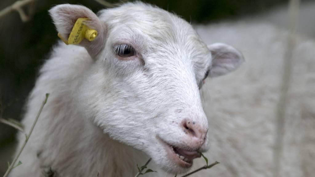 Lebendes Schaf in Tierkadaversammelstelle deponiert