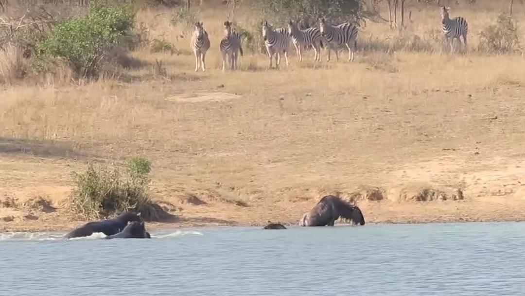 Nilpferde retten Gnu aus der Krokodil-Falle – und die Zebras schauen zu.