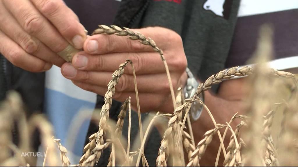 Langes Warten auf Trockenperiode bei Getreidebauern