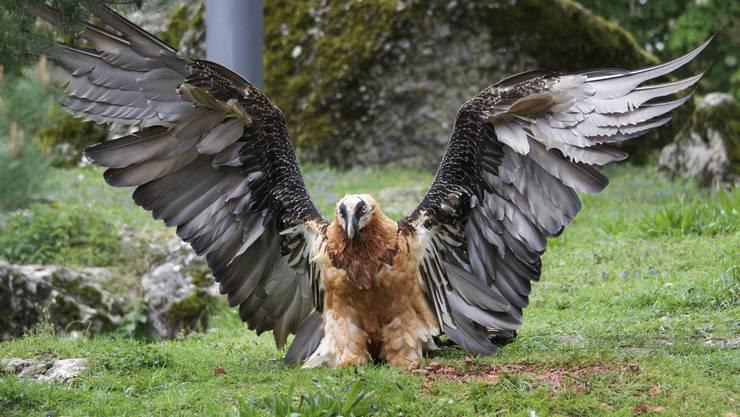 Bartgeier bei der Landung- unheimlich grosses Vogel !!!