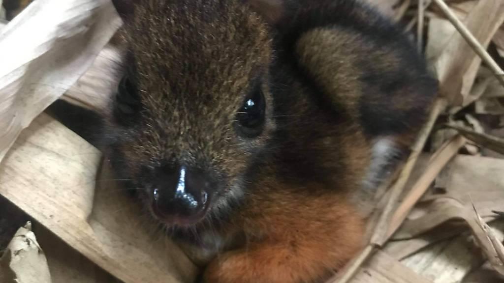 HANDOUT - Ein neugeborenes Java-Kantschil sitzt im Marwell Zoo, wo es im vergangenen Monat auf die Welt kam. Foto: Marwell Zoo/PA Media/dpa - ACHTUNG: Nur zur redaktionellen Verwendung und nur mit vollständiger Nennung des vorstehenden Credits