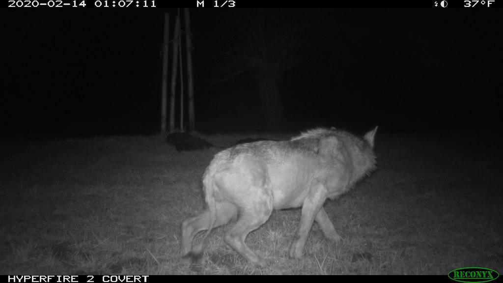 Zehn Schafe gerissen: Behörden schiessen kranken Wolf