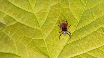Zecken – hier fotografiert auf einen Blatt – können auch Krankheiten wie Frühsommer-Meningoenzephalitis (FSME) übertragen. (Symbolbild)