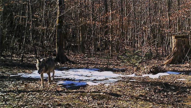 Im Februar 2019 wurde in Erlinsbach der erste Wolf im Aargau fotografiert - er tappte in eine Fotofalle.