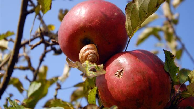 Das feuchte und warme Wetter hinterlässt braune Flecken auf Obst, wenn man es nicht regelmässig mit Spritzmittel behandelt.