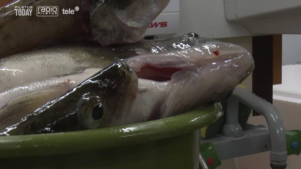 Hier werden über 400 Fische für den Karfreitag geschlachtet