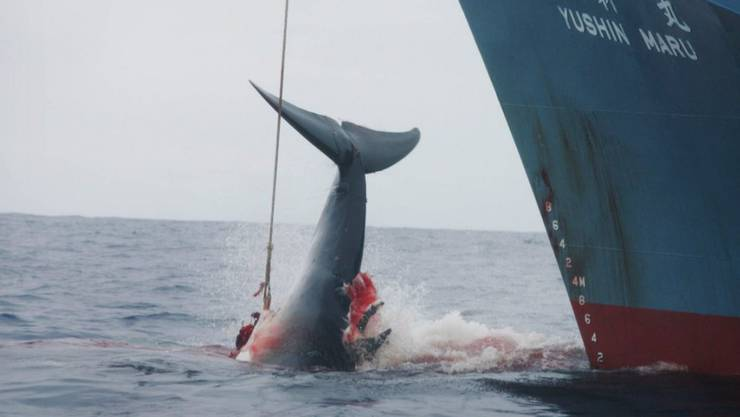 Wird bald wieder Realität sein: Die Crew eines japanischen Walfangschiffes zieht ein mit einer Harpune gejagtes Tier an Bord. (Archivbild)