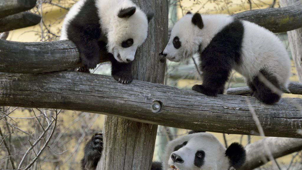 Zum ersten Mal im Aussengehege und bereits klettern die Panda-Kinder höher als ihre Mutter.