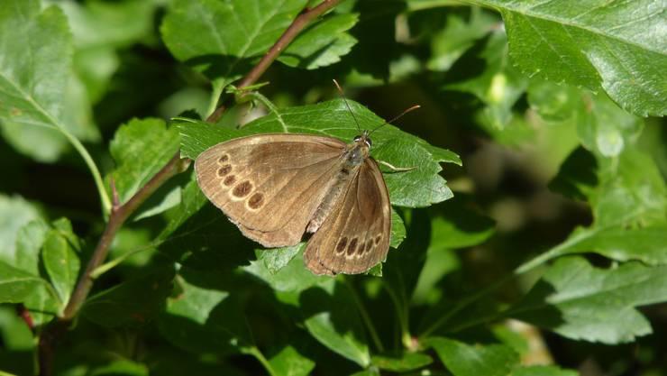 Gelbringfalter sind an den gelbumrandeten schwarzen Flecken zu erkennen. Auf dem Bild ist die Oberseite der Flügel zu sehen.
