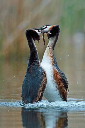 Die Partner präsentieren sich, im Wasser stehend, Pflanzenteile für den Nestbau. (Bild Hansruedi Weyrich)