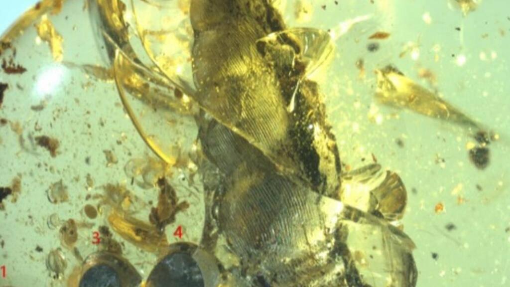 In Bernstein eingeschlossen fanden die Forschenden einen Nachweis für eine 99 Millionen Jahre alte Lebendgeburt: Eine weibliche Schnecke mit ihren fünf Jungtieren. (Pressebild)