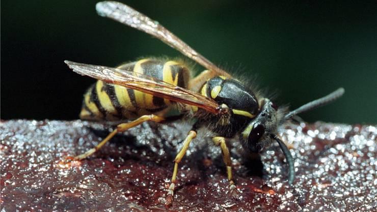 Schwarz-Gelb zu Besuch: Wespen machen vielen Baslerinnen und Baslern das Leben schwer.