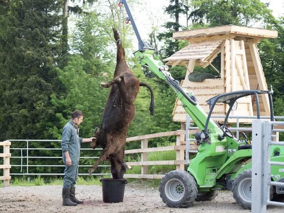 Nach der Schlachtung wird das Rind ausgeblutet.