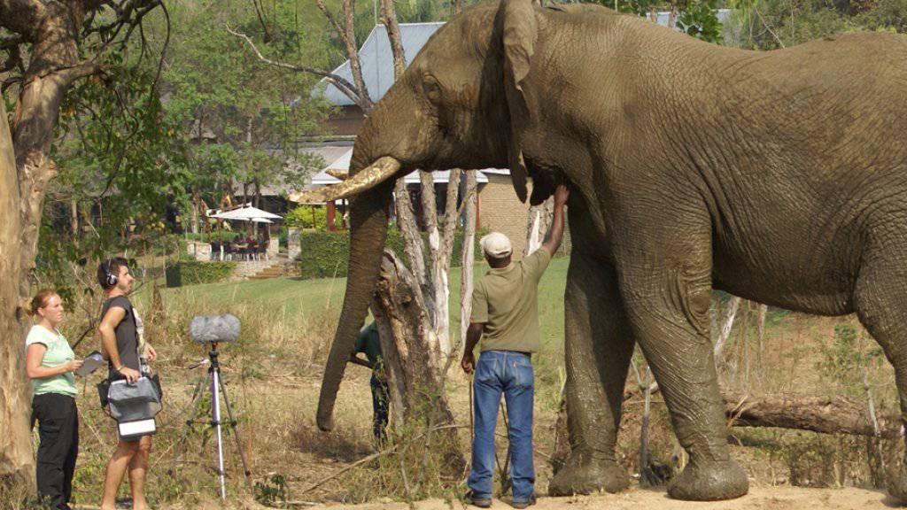 Wiener Forschende haben die extrem tiefen «Rumble»-Laute von Elefantenbullen aufgezeichnet und analysiert.