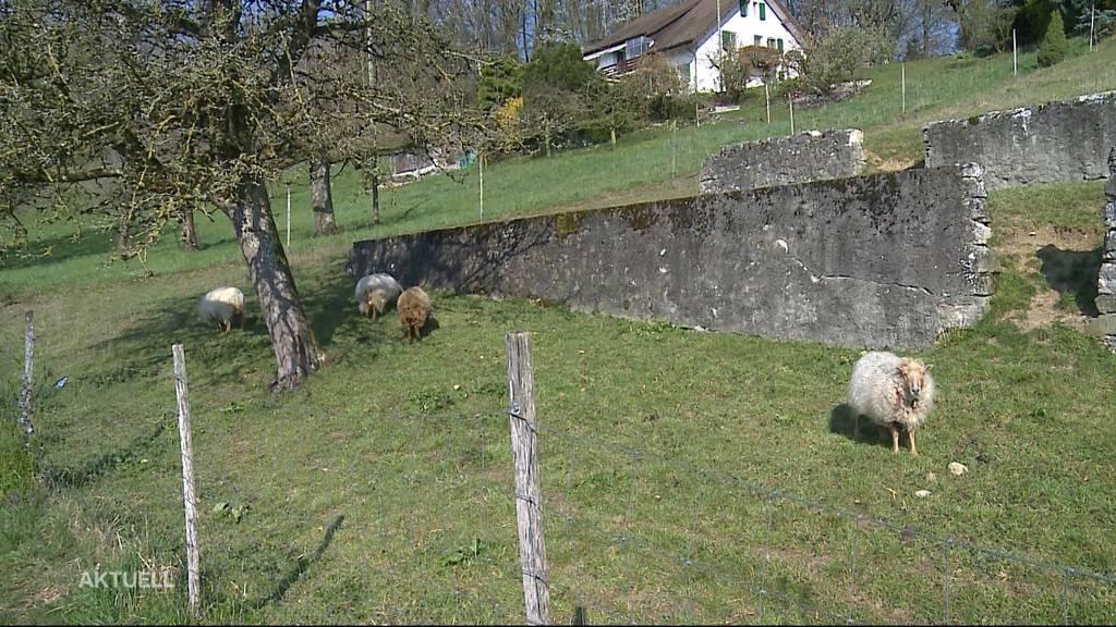 Zwei Schafe innerhalb von wenigen Tagen gerissen