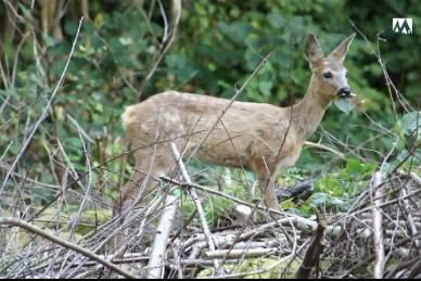 Bambi schlägt sich im Wald bei Turgi ohne Mutter durch: So berichtete «Tele M1» im September 2014.
