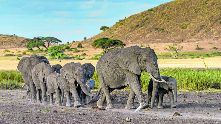 Elefanten-Füsse sind unten mit einer dicken, gallertartigen Schicht versehen, die wie ein Polster wirkt.