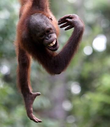 Der Lebensraum der Orang-Utan ist bedroht