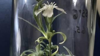 """Da hatte jemand einen sehr, sehr grünen Daumen:  Forscher der Universität für Bodenkultur Wien haben eine 32'000 Jahre alte Pflanze wieder zum Blühen gebracht. Das Erbgut der zu den Nelkengewächsen zählenden Art """"Silene stenophylla"""" hat Jahrtausende im sibirischen Permafrostboden überlebt. (zVg)"""