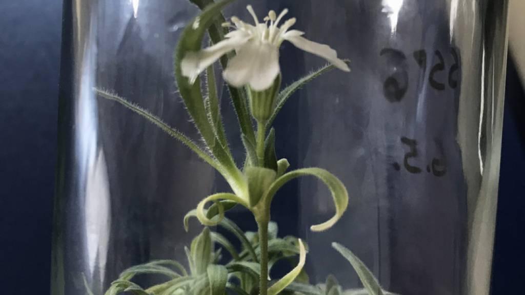 Da hatte jemand einen sehr, sehr grünen Daumen:  Forscher der Universität für Bodenkultur Wien haben eine 32'000 Jahre alte Pflanze wieder zum Blühen gebracht. Das Erbgut der zu den Nelkengewächsen zählenden Art «Silene stenophylla» hat Jahrtausende im sibirischen Permafrostboden überlebt. (zVg)