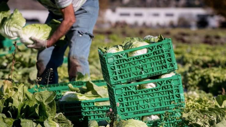 """Die beiden Agrarinitiativen """"Fair Food"""" und """"Für Ernährungssouveränität"""" verlieren gemäss Umfragen zwei Wochen vor der Abstimmung immer mehr an Zustimmung. (Archivbild)"""