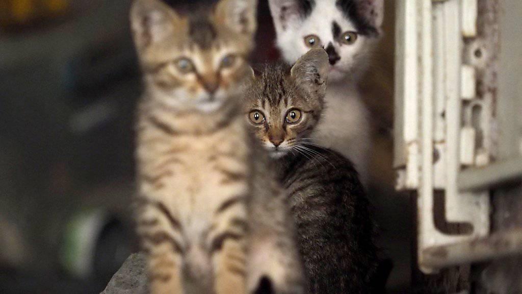 Verwilderte Katzen töten in Australien laut einer Studie jedes Jahr 650 Millionen Reptilien. (Themenbild)