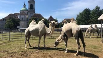 Circus Knie in Solothurn: die Tiere auf der Chantierwiese