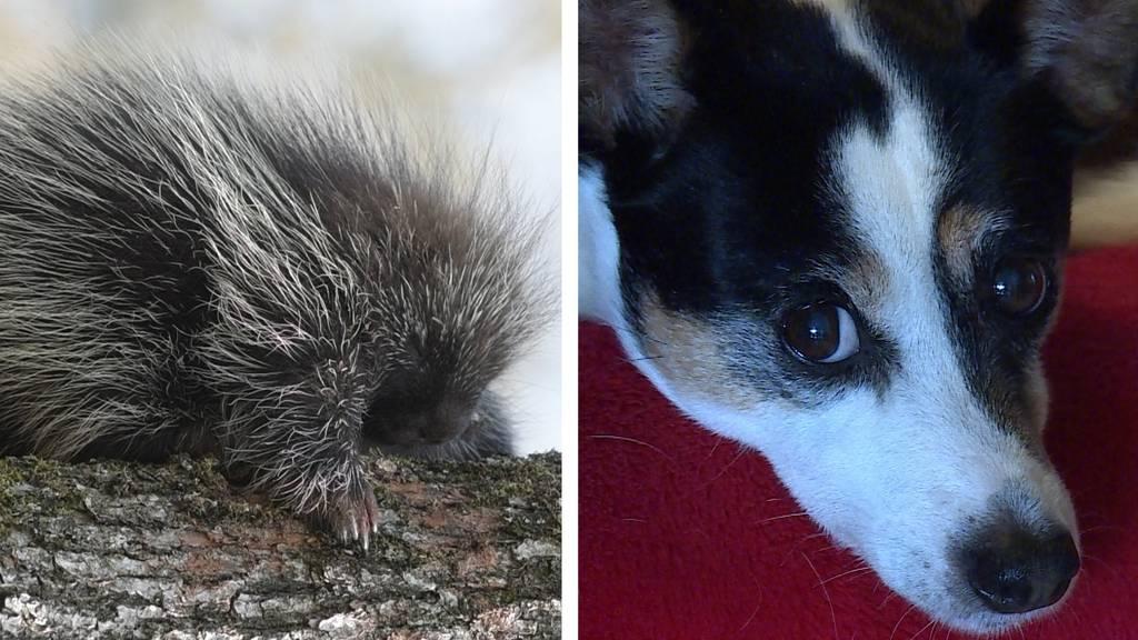 Zwischenstopp für Hunde / Neue Tierart im Zoo Basel: Der Urson
