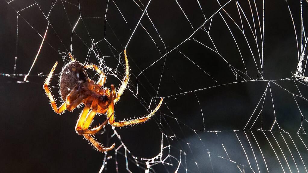 Spinnen bauen ihre Netze auf der Erde asymmetrisch. In der Schwerelosigkeit spinnen sie die Netze hingegen symmetrischer, zumindest in der Dunkelheit. (Archivbild)