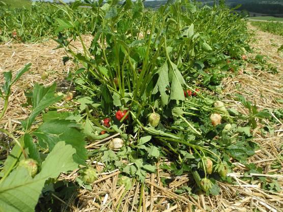 Die Erdbeeren waren nicht mehr zu retten.