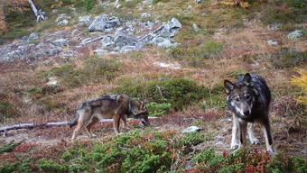 """Ihnen soll es an den Kragen gehen, auch auf Vorrat: weil das Referendum gegen die Lockerung des Jagdgesetzes zustande kommt, hat das Volk das letzte Wort zum """"Abschussgesetz"""" gegen Wolf, Steinbock und Co. (Archivbild)"""
