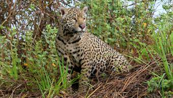 Gestatten? Das ist «Patricia», eine der Tausenden Raubkatzen, die im Sumpfgebiet leben. Bild: Win Schumacher