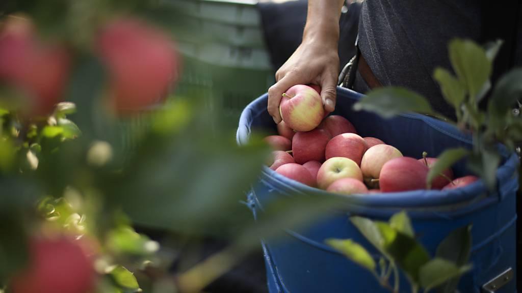 Apfelernte beginnt in der Schweiz in diesem Jahr früher