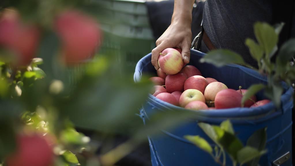 In der Schweiz können die ersten Äpfel geerntet werden. (Archivbild)