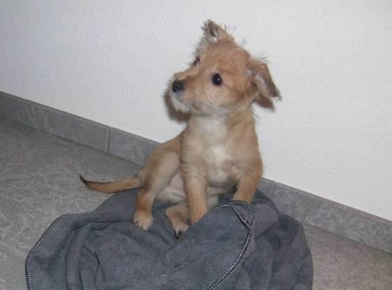 """Weshalb es dieser kleine Hund 2012 in eine Medienmitteilung der Polizei schaffte? Weil er entlaufen, gefunden, von der Finderin gebadet und """"massiert"""" und danach zurückgebracht wurde."""