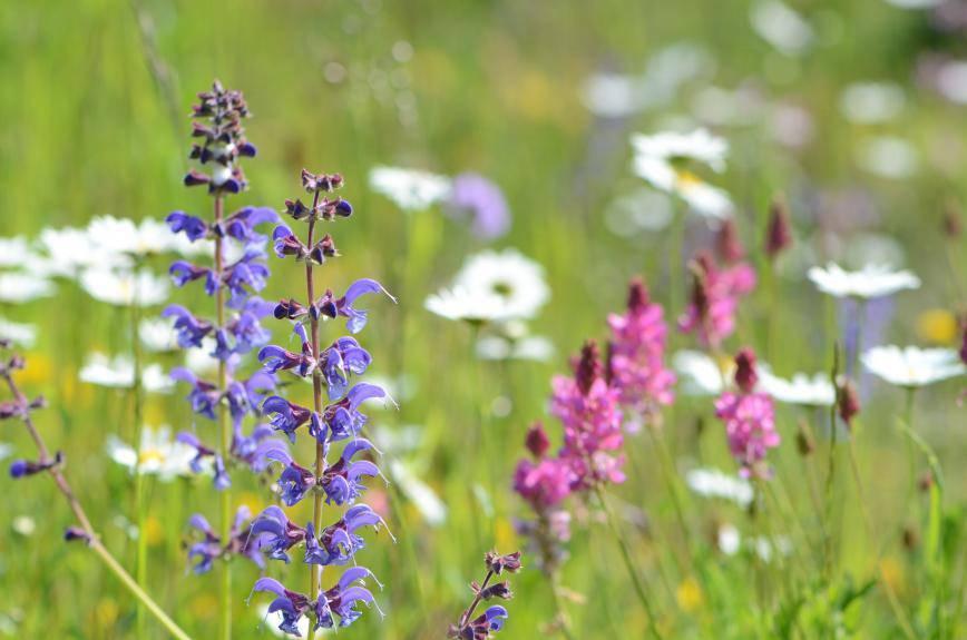Die schönsten Blumenwiesen (© Vincent Sohni)