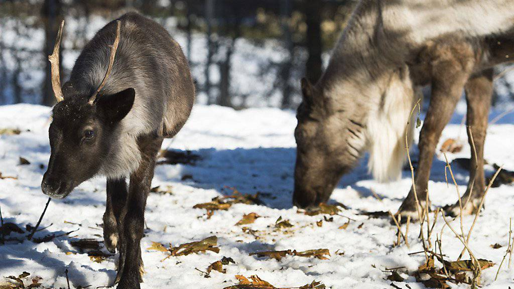 Illegale Jagd und Klimawandel setzen den Herden wilder Rentiere im arktischen Norden Russlands zu. (Symbolbild)