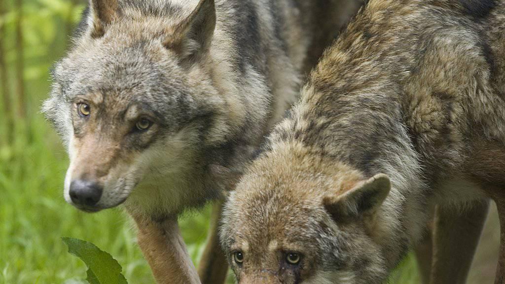 Pro Natura und WWF fordern die Kantone auf, das Anfüttern von Wildtieren im Wolfsgebiet zu verbieten.  (Archivbild)