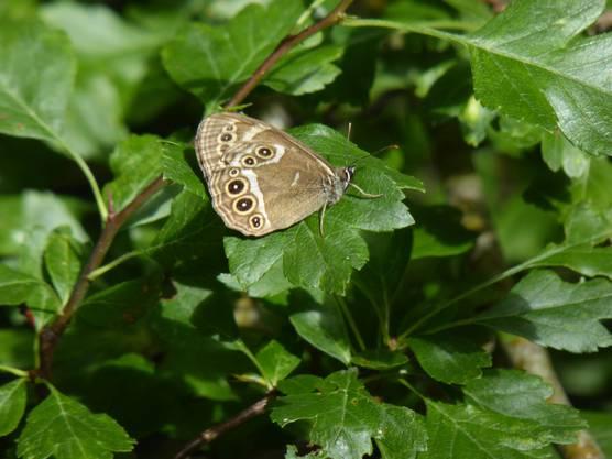 Gelbringfalter sind an den gelbumrandeten schwarzen Flecken zu erkennen. Auf dem Bild ist die Unterseite der Flügel zu sehen.