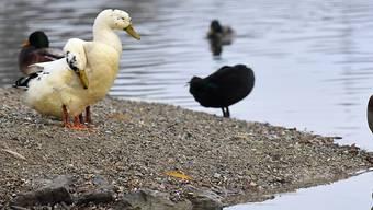 Auch in Nordostfrankreich ist die Vogelgrippe bei Wildenten nachgewiesen worden. (Symbolbild)