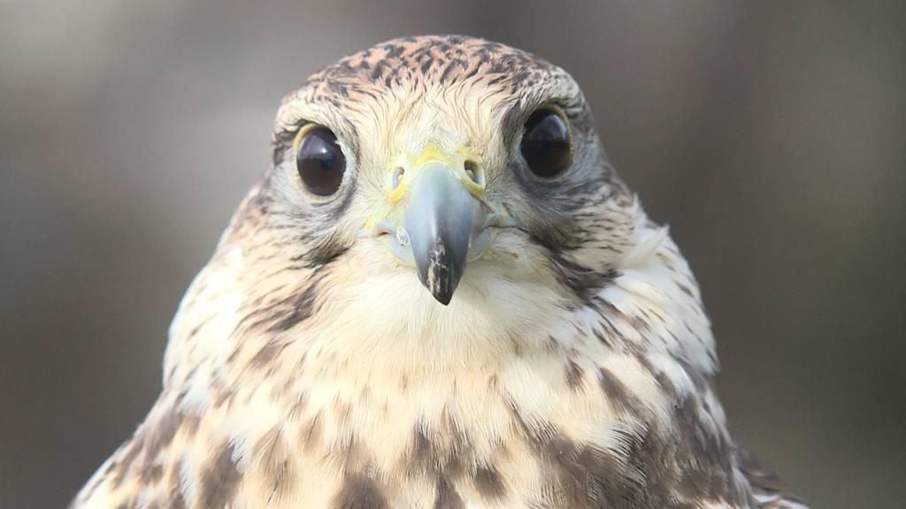 Falke gegen Krähen