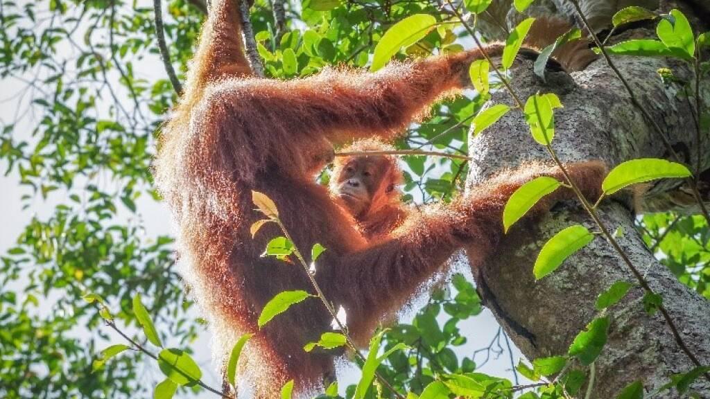 Ein junges Orang-Utan-Weibchen schaut seiner Mutter zu, wie sie mit einem Stöckchen Nahrung aus einem Baumloch holt.  (Handout Plos Biology)