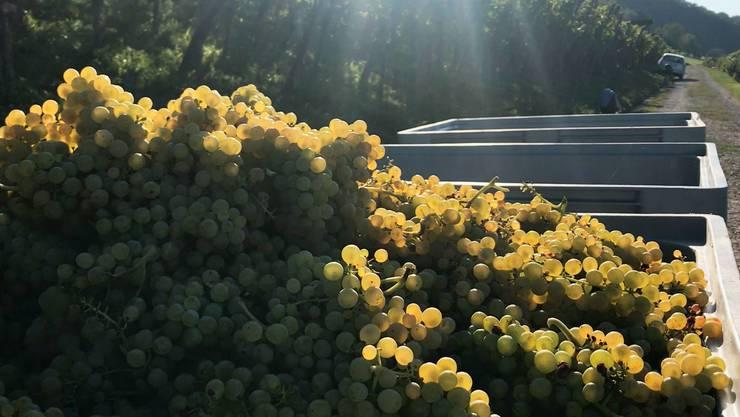 Heuer findet die Traubenlese etwa drei Wochen früher statt als bei der letzten Ernte.