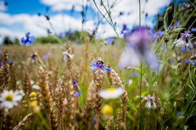 Neue Vielfalt: Ohne Herbizide wachsen auch Wiesenblumen im Feld.