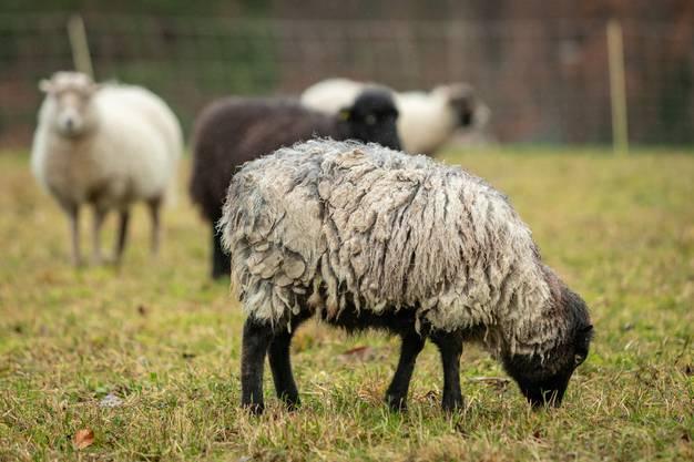Impressionen von der Schafweide.